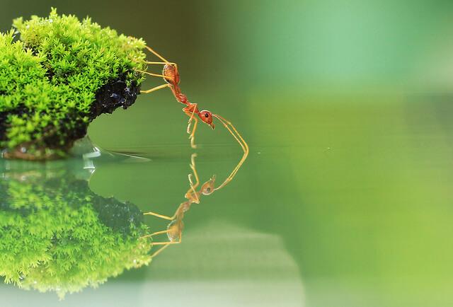 Macrofotografía Red Ant, M. Sabriamin