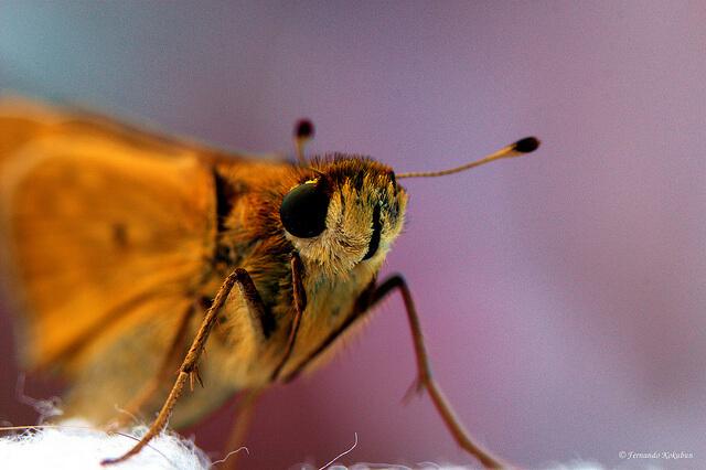 macrofotografía, Fernando Kokubun. Moth