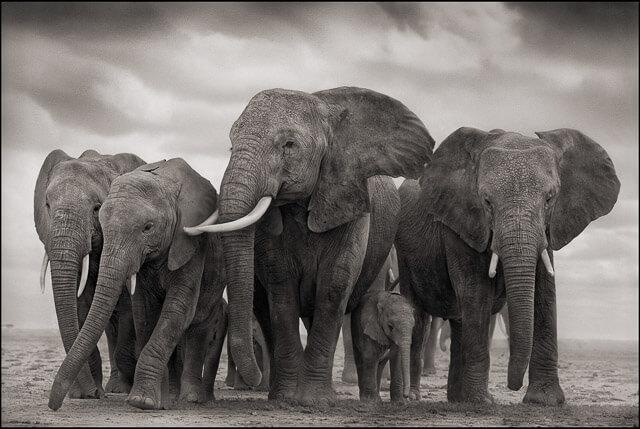 Elefantes en Blanco y Negro