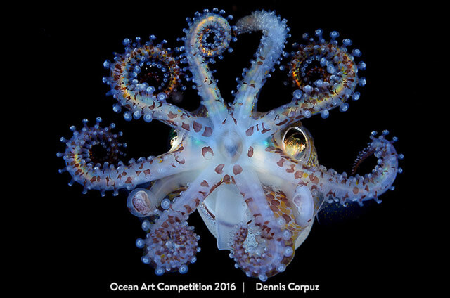 """""""Amazing Squid"""" por Dennis Corpuz. Primer puesto en la categoría de Macro en la Ocean Art Competition 2016"""