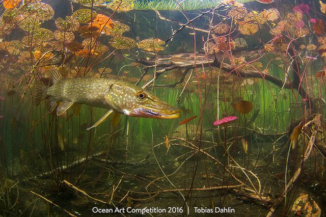 """""""The World of a Pike"""" por Tobias Dahlin. Primer puesto en la categoría Cold Water de 1st Place - Shot at Skällingesjön, Varberg, Sweden with Nikon D7100"""