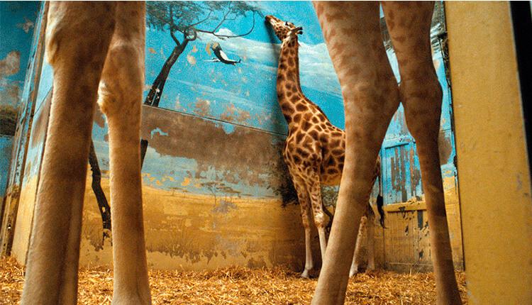 fotografía de jirafas del libro rimas de reojo