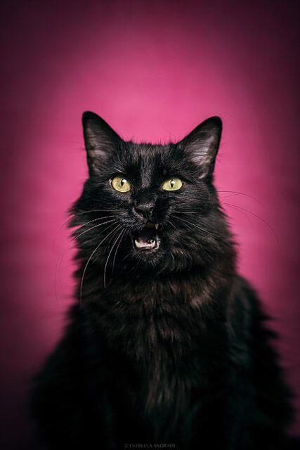 gato negro sobre fondo rosa