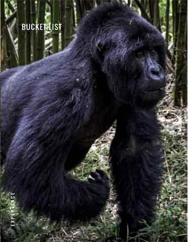 Gorila caminando